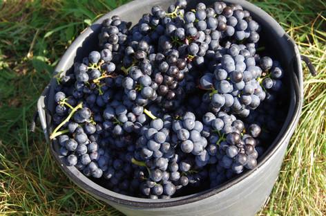 Weintrauben bei der Lese