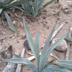 Hijuelo espadin Tamaño toronja