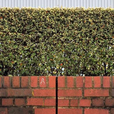 Nob hedge.jpg