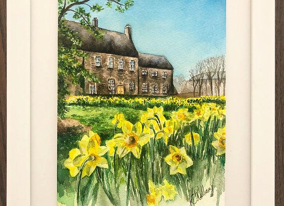 Maynooth Daffodils