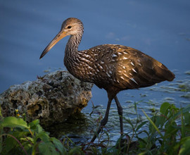 Limpkin Looking for Snails