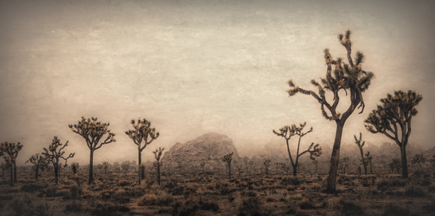 Joshua Tree Forest With Mountain