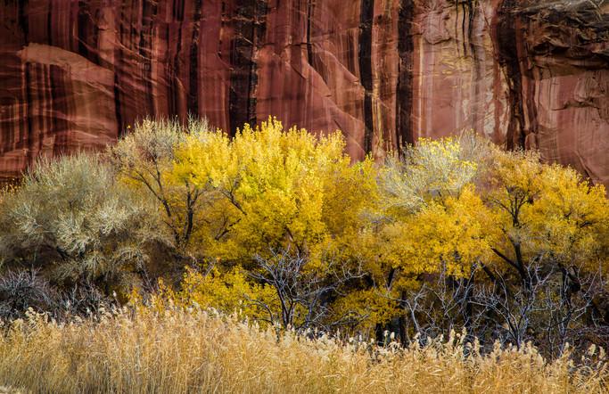 Fall Aspens Against a Rock Wall