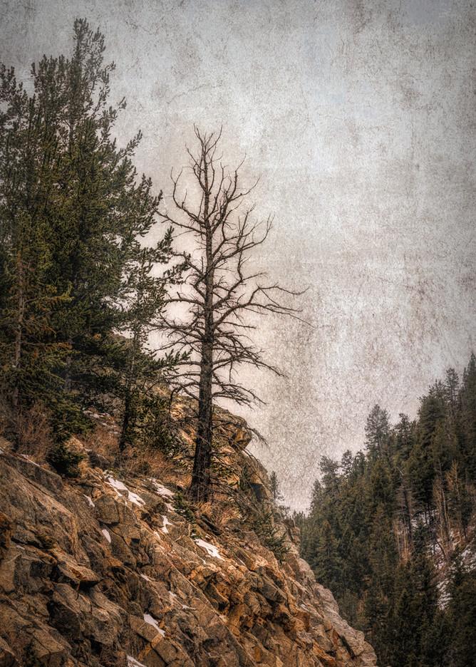 Rocky Mountain Tree #2