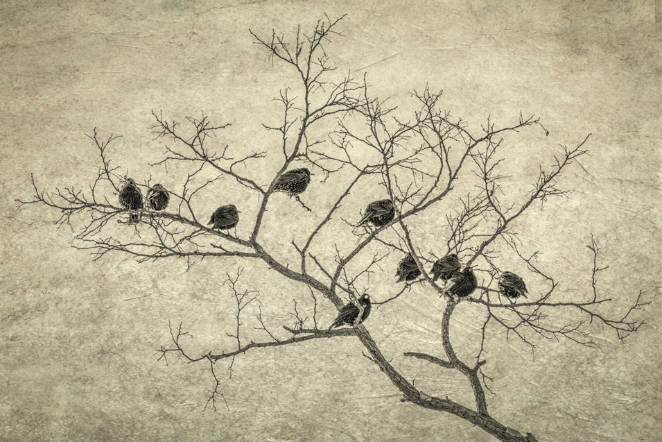 Grackles Roosting
