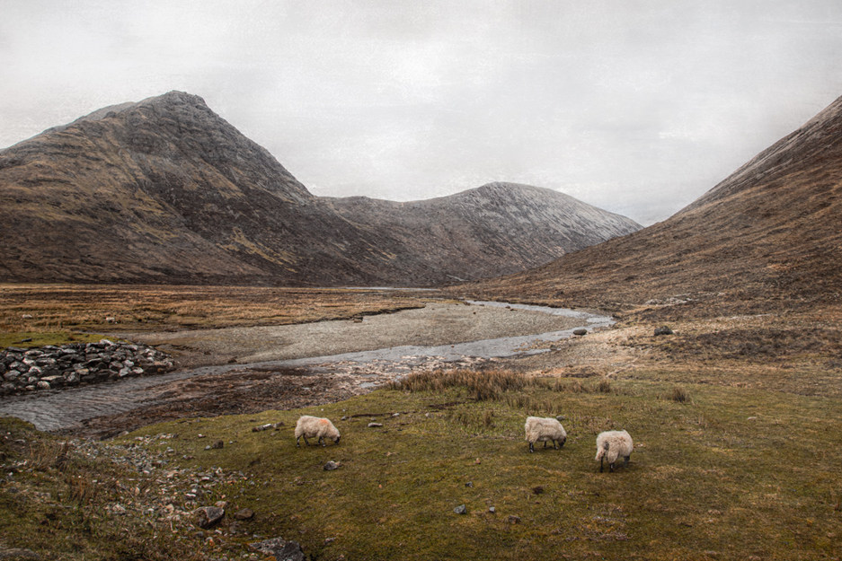 Three Sheep Grazing