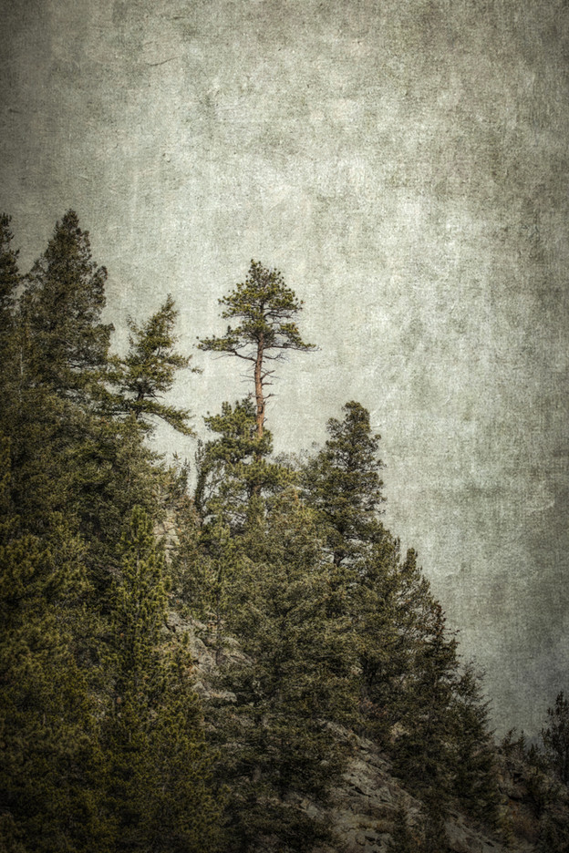 Rocky Mountain Tree #4
