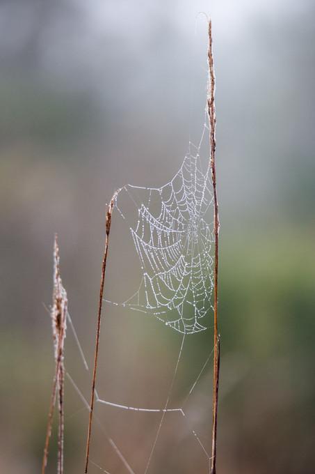 Spider Web, Big Cypress