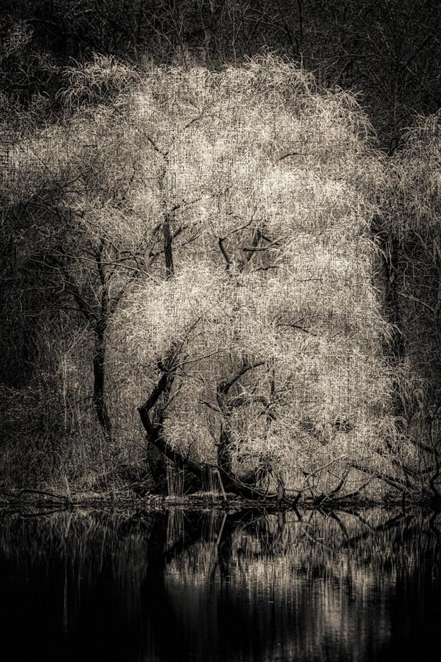 Three Trees on Scudders Pond