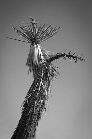 Joshua Tree Mojave
