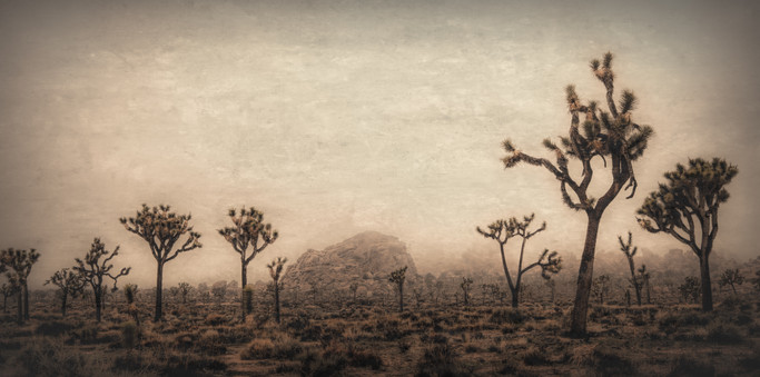 Joshua Trees in Fog