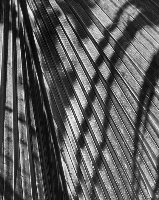 Palm Leaf Study #1