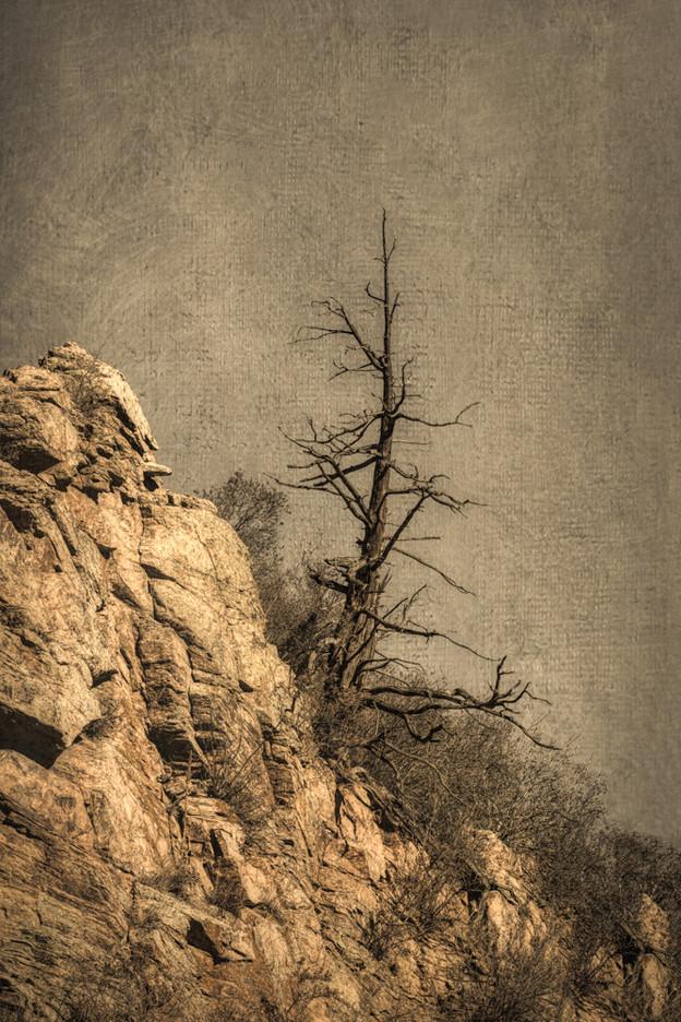 Rocky Mountain Tree #1