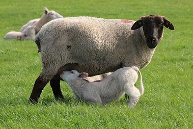 sheep-323065_1920.jpg