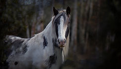 Clydesdale_MG_2643-Edit low res.jpg