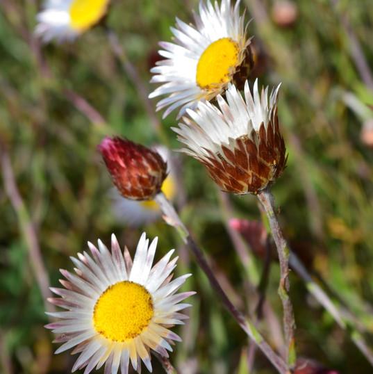 Helichrysum wilmsii, BNR, 13.4 (4).JPG
