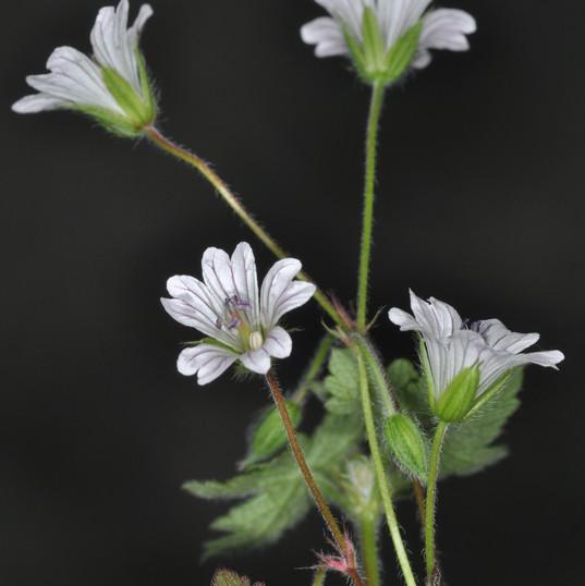 Geranium wakkerstroomianum, Concrete Wei