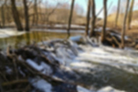 beaver dam on the river.jpg