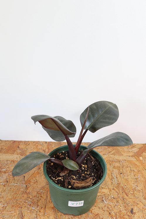 Philodendron black cardinal V773