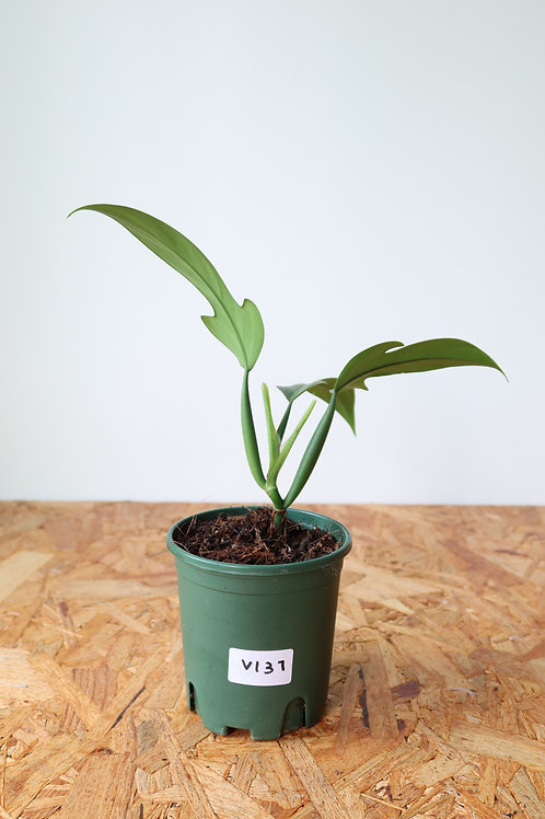 Philodendron panduriforme V137
