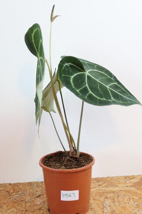 Anthurium clarinervium V567
