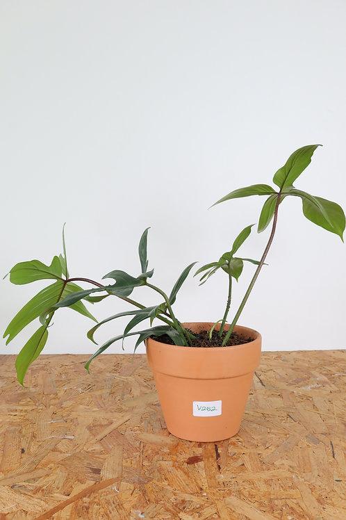 Philodendron florida green - V252