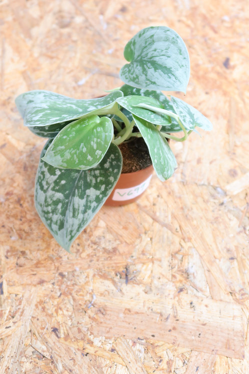 Scindapsus pictus Silvery Ann V699