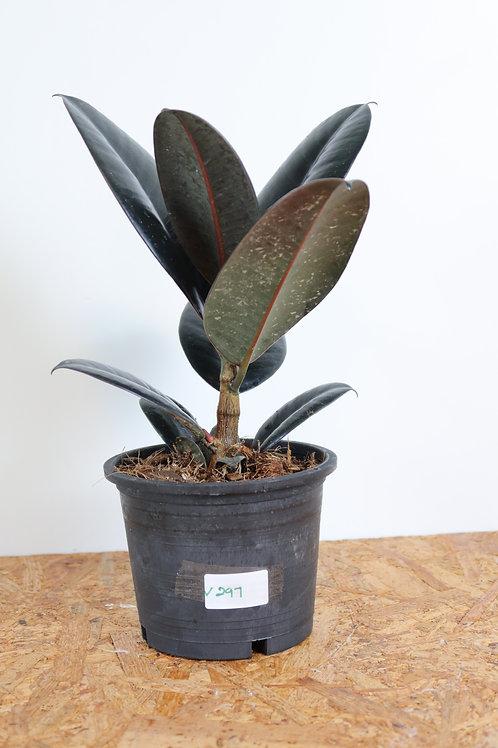 Ficus elastica Abidjan V297