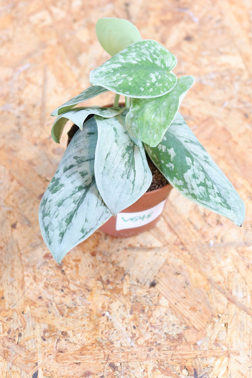 Scindapsus pictus SIlvery Ann V548