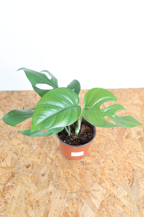 Rhaphidophora pertusa V292