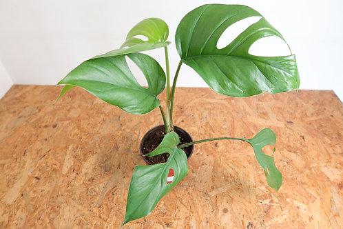 Rhaphidophora pertusa V041