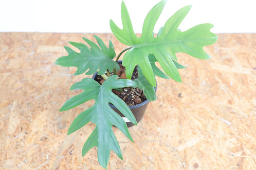 Philodendron mayoi V752