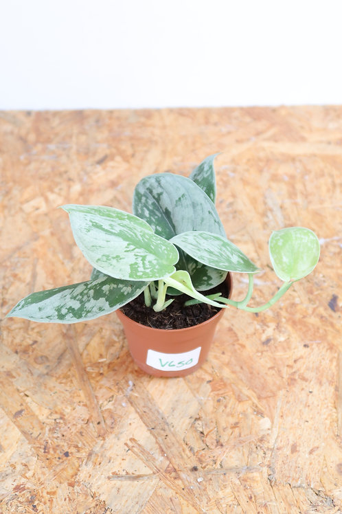 Scindapsus pictus SIlvery Ann V650
