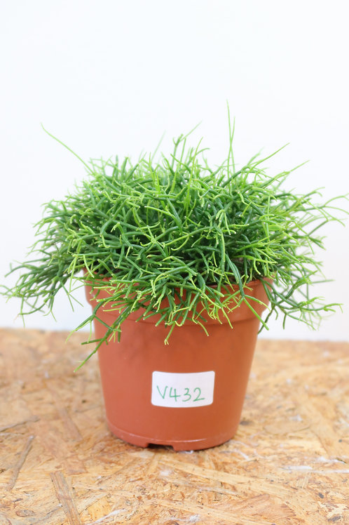 Rhipsalis baccifera 'Oasis' V432