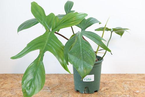 Philodendron florida green - V646