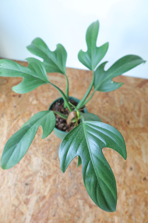 Philodendron panduriforme 001