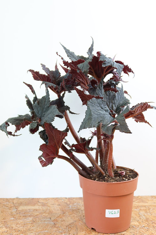 Begonia black taffeta V623
