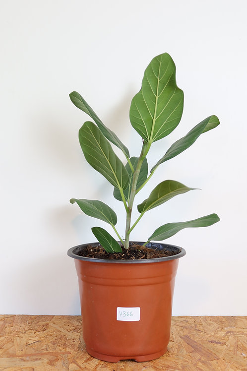 Ficus benghalensis 'Audrey' V366