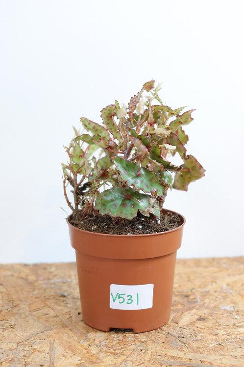 Begonia Amphioxus V531