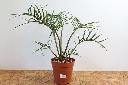 Philodendron Tortum V608
