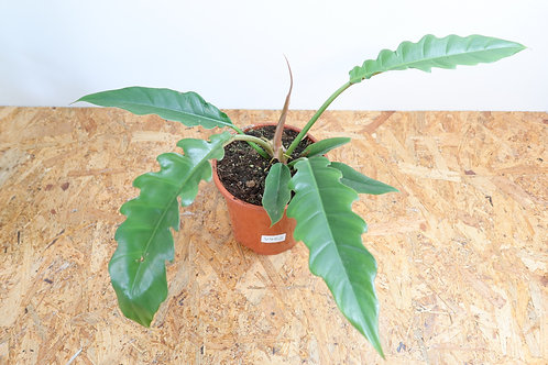 Philodendron narrow jungle boogie - V452