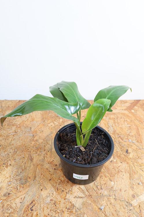 Philodendron mexicanumV488