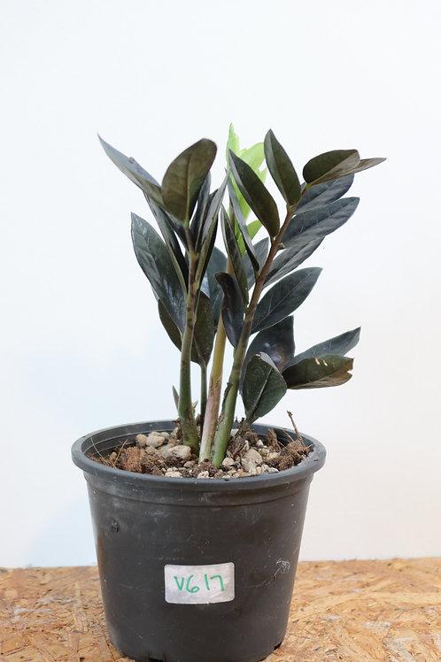 Zamioculcas zamiifolia raven V617