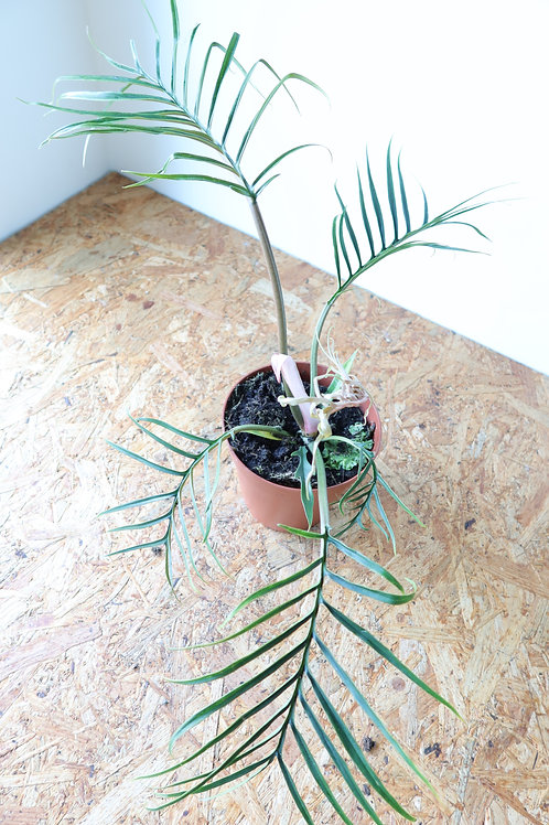 Philodendron Tortum 005