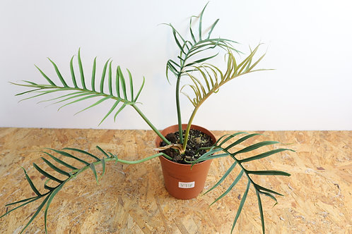 Philodendron Tortum V718