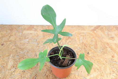 Philodendron florida green - V764