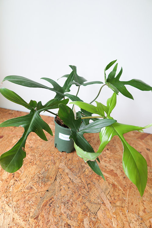 Philodendron florida green 010