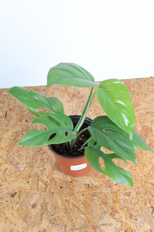 Rhaphidophora pertusa V291