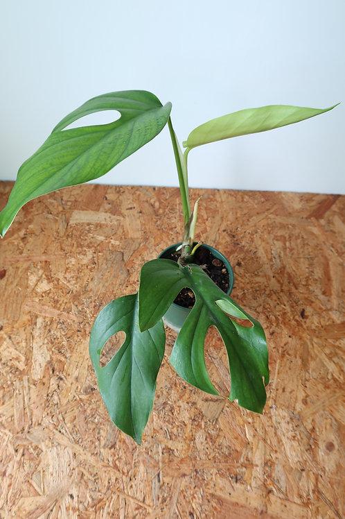 Rhaphidophora pertusa 016