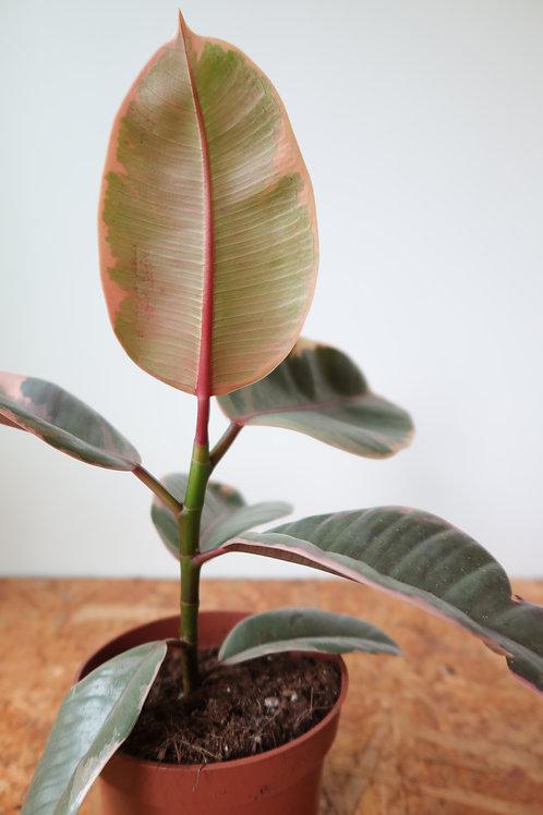 Ficus elastica belize 003